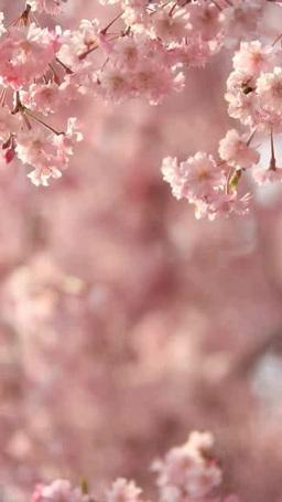 風に揺れるベニシダレザクラのアップ Footage