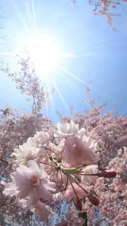 風に揺れるベニシダレザクラのアップと木もれ日 影片素材