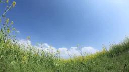 風に揺れる菜の花畑と太陽の光芒 Footage
