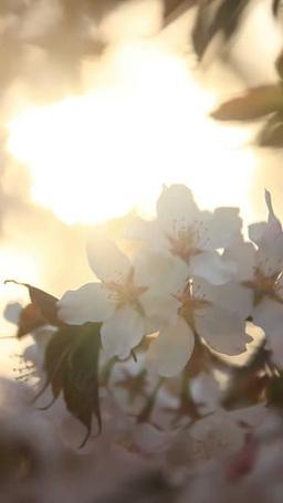風に揺れる桜のアップと朝日の木もれ日 影片素材