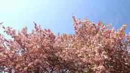 桜吹雪 八重桜 Footage