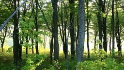 新緑のブナ林と夕日の木もれ日とウグイスの鳴き声 Footage
