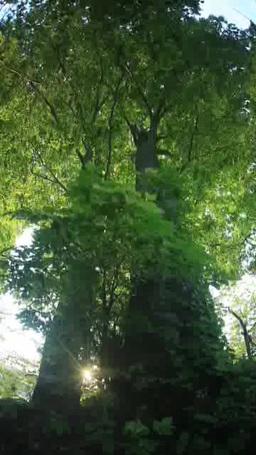 新緑のブナの大木と夕日の木もれ日 Footage