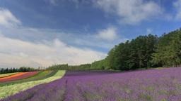 ラベンダーとポピーなどの花畑と流れ動く雲 Footage