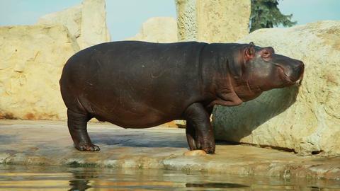 Hippopotamus 1 Footage