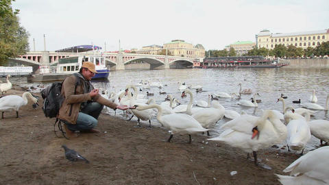 Man Feeding Swans Near River In Prague stock footage