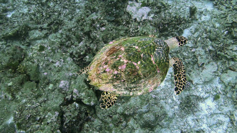 sea turtle current on coral reef Footage