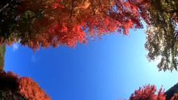 モミジの紅葉と木もれ日 Footage