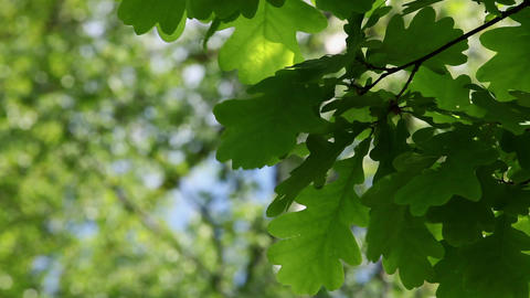 oak leaf Stock Video Footage