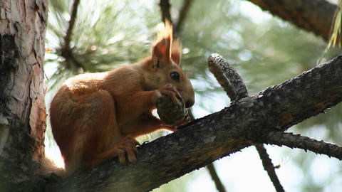 Squirrel 2 Stock Video Footage