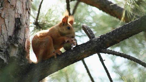 Squirrel 4 Stock Video Footage