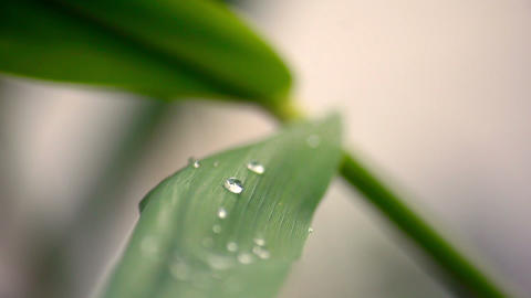 Dew drops on reed's leaf Stock Video Footage