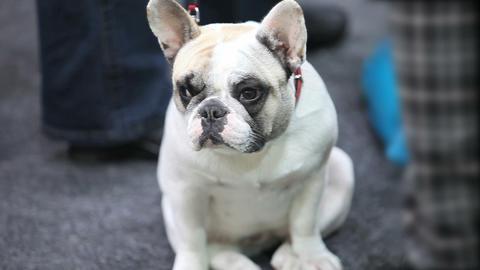 French bulldog the puppy 영상물
