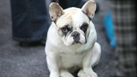 French bulldog the puppy Stock Video Footage