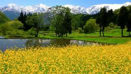 菜の花畑と田園と五龍岳と鹿島槍ヶ岳など北アルプスの山 Footage