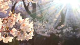タカトオコヒガンザクラの樹林と木もれ日の光芒 影片素材