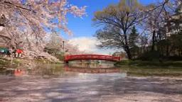 ソメイヨシノと花びらと竜ヶ池と弁天橋 影片素材