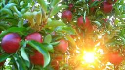 リンゴと夕日の光芒 品種さんさ Footage