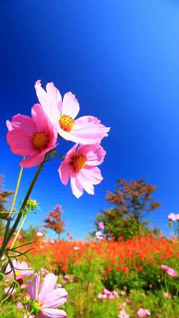 風に揺れるコスモスの花畑と木立 影片素材