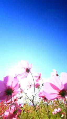 風渡るコスモスの花畑と太陽の光芒 ภาพวิดีโอ