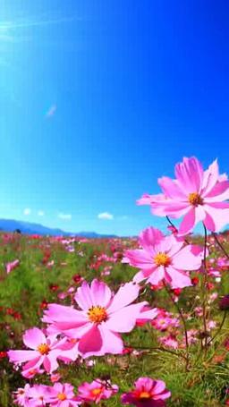 風渡るコスモスの花畑と太陽の光芒 Footage