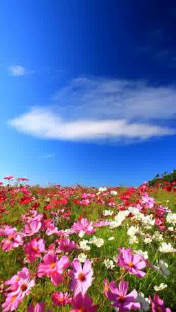 風渡るコスモスの花畑 Footage