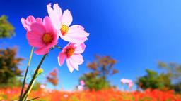 風に揺れるコスモスの花畑と木立 Footage