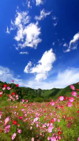 風渡るコスモスの花畑と独鈷山と流れ動く雲 Footage