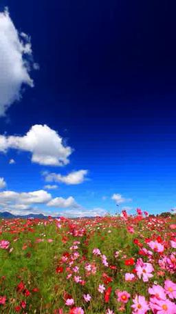 風渡るコスモスの花畑と夫神岳などの山並み Footage