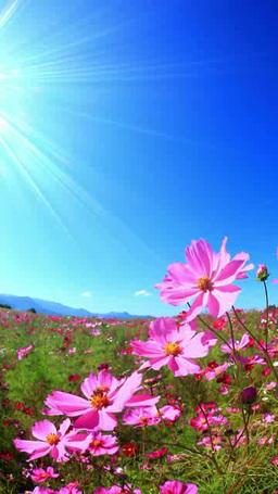 風渡るコスモスの花畑と太陽の光芒とミツバチ,四倍速撮影 Footage