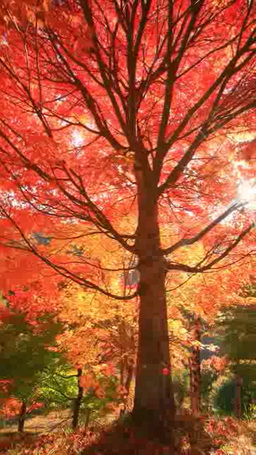 maple foliage and forest glimmering in the sunlight 영상물
