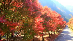Road and tree-lined maple with autumn foliage Footage