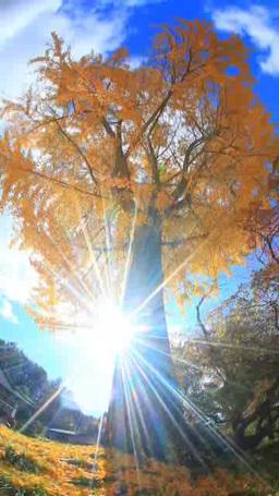 紅葉のイチョウの巨木と木もれ日の光芒と長福寺と舞い散 Footage