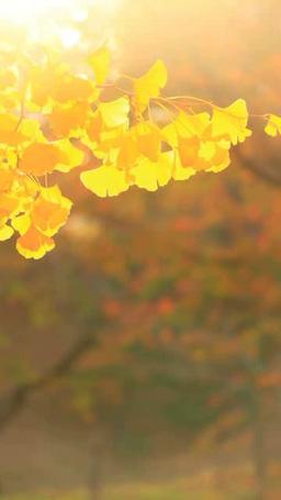 風に揺れるイチョウの紅葉の葉のアップと木もれ日の光芒 Footage