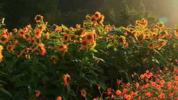 Cosmos field and sunflower and morning sun Footage