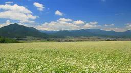 Aoki three mountains and buckwheat gardens Footage