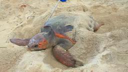 ウミガメと保護活動,個体計測 stock footage