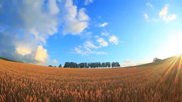 Shaft of light on wheat fields, grove of larch and sunset Footage