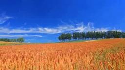 赤麦畑(タクネ)とカラマツ木立 Footage