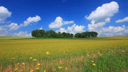Wheat fields, groves and dandelion dandelion beetle Footage