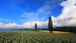 花咲くジャガイモ畑と小麦畑とポプラ木立と入道雲 Footage