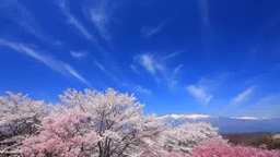 Cherry blossoms such as the Yoshino variety and Mount Utsugidake Footage