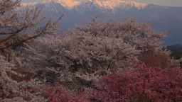 Cherry blossoms such as the Yoshino variety and Mount Utsugidake dyed in the mor Footage