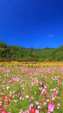 ヒマワリとコスモスの花畑と独鈷山 Footage