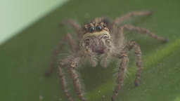 Grey Spider Looking At Camera stock footage
