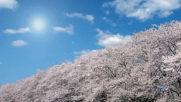 Rows of cherry trees and a flurry of falling cherry blossoms Footage