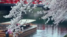 遊覧船と桜と赤い橋 影片素材