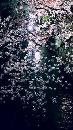 高瀬川と夜桜 ภาพวิดีโอ