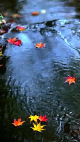 川面を流れるモミジ Footage