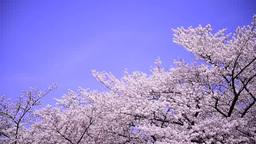 風に舞う桜並木と青空 Footage